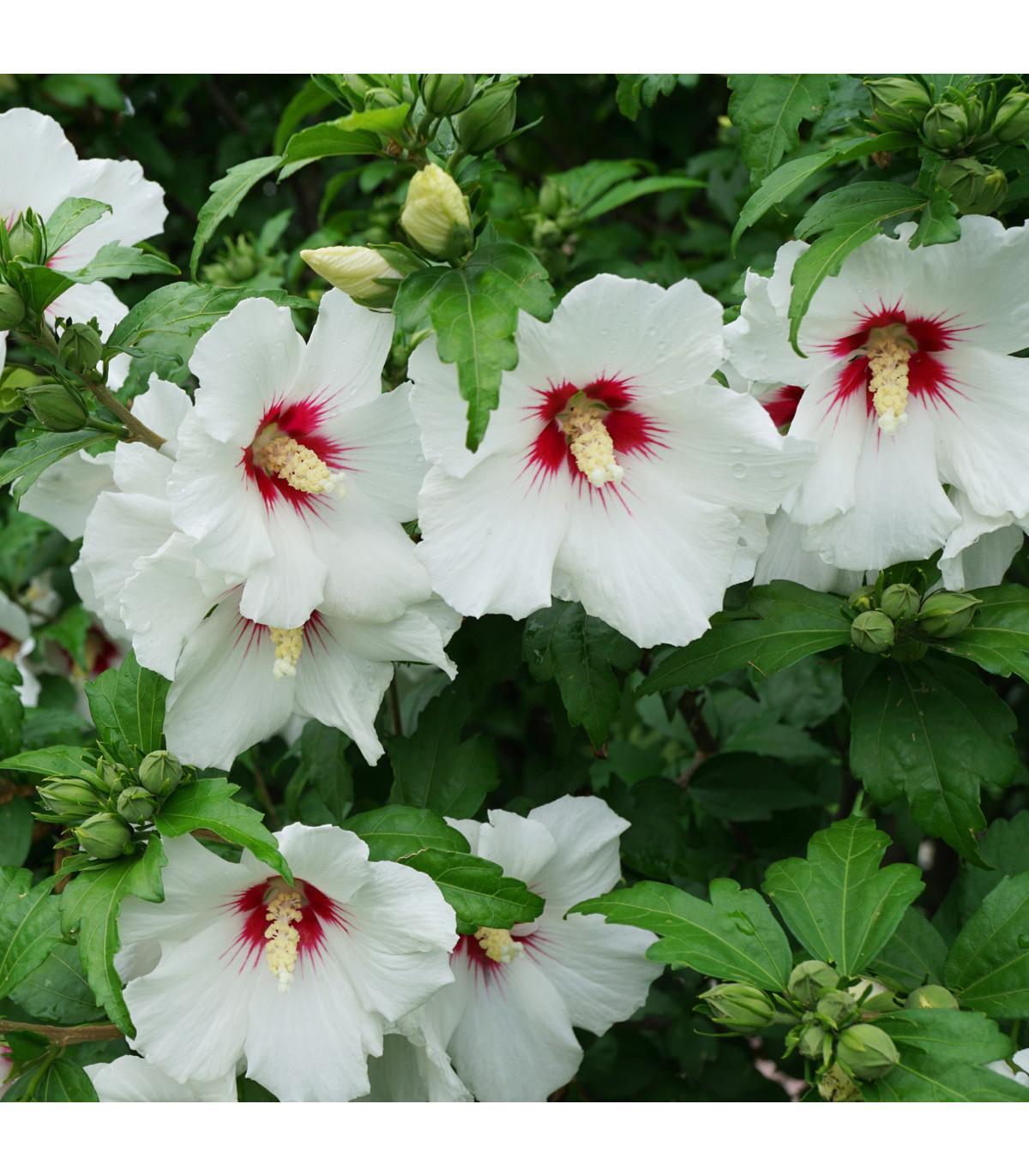 Ibišek syrský bílý - semínka Ibišku - Hibiscus syriacus - 12 ks
