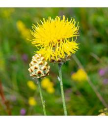 Nevädza lúčna žltá - Centaurea cyanus - semená - 50 ks
