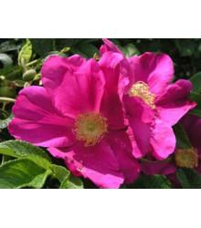 Růže svraskalá - semena - 5 ks - Rosa Rugosa