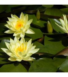Lekno žlté - Nymphaea - semená - 5ks