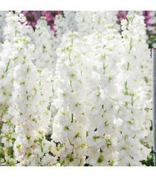 Fiala letná biela - Matthiola incana - semená - 60ks