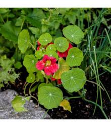 Kapucínka nízka Tip Top Rose - Tropaeolum minus - semená - 10ks