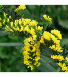 Limonka chobotnatá žltá - Limonium sinuatum - semená - 30ks