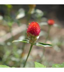 Pestrovka oranžová - Gomphrena haageana - semená pestrovky - 20ks