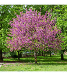 Judášovec strukový - Cercis siliquastrum - semená judášovca - 6ks