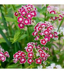 Klinček Super Parfait F1 - Dianthus Super Parf. Raspberry - semínka hvozdíku - 16 ks