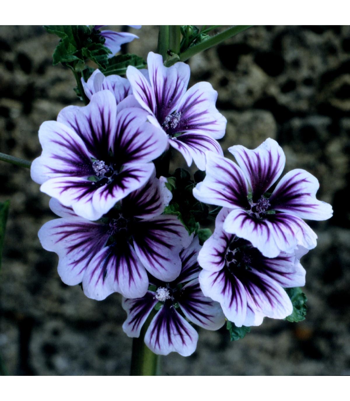 Slez lesný Zebrina - Malva sylvestris - semená slezu - 50ks