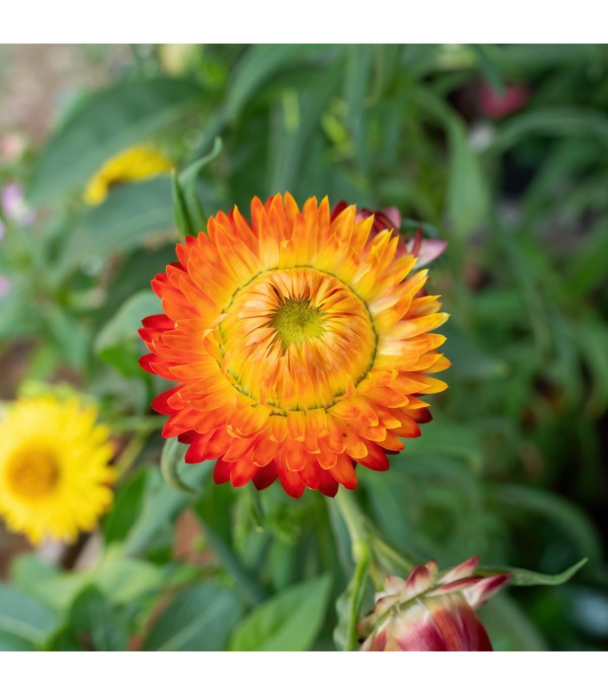 Slamiha listnatá oranžová - Helichrysum bracteatum - semená - 500ks