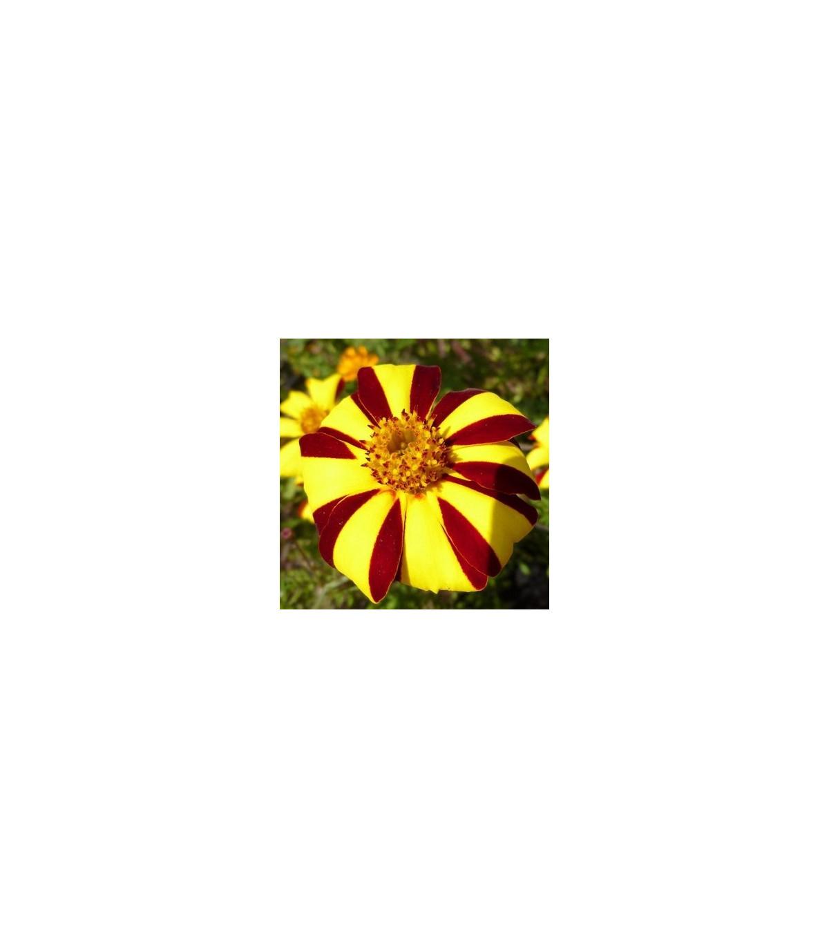 Aksamitník rozkladitý vysoký - semena Aksamitníku - Tagetes patula - 0,3 g