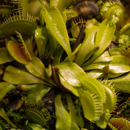 Mucholapka mix - masožravka - semena mucholapky - Dionaea 15 ks