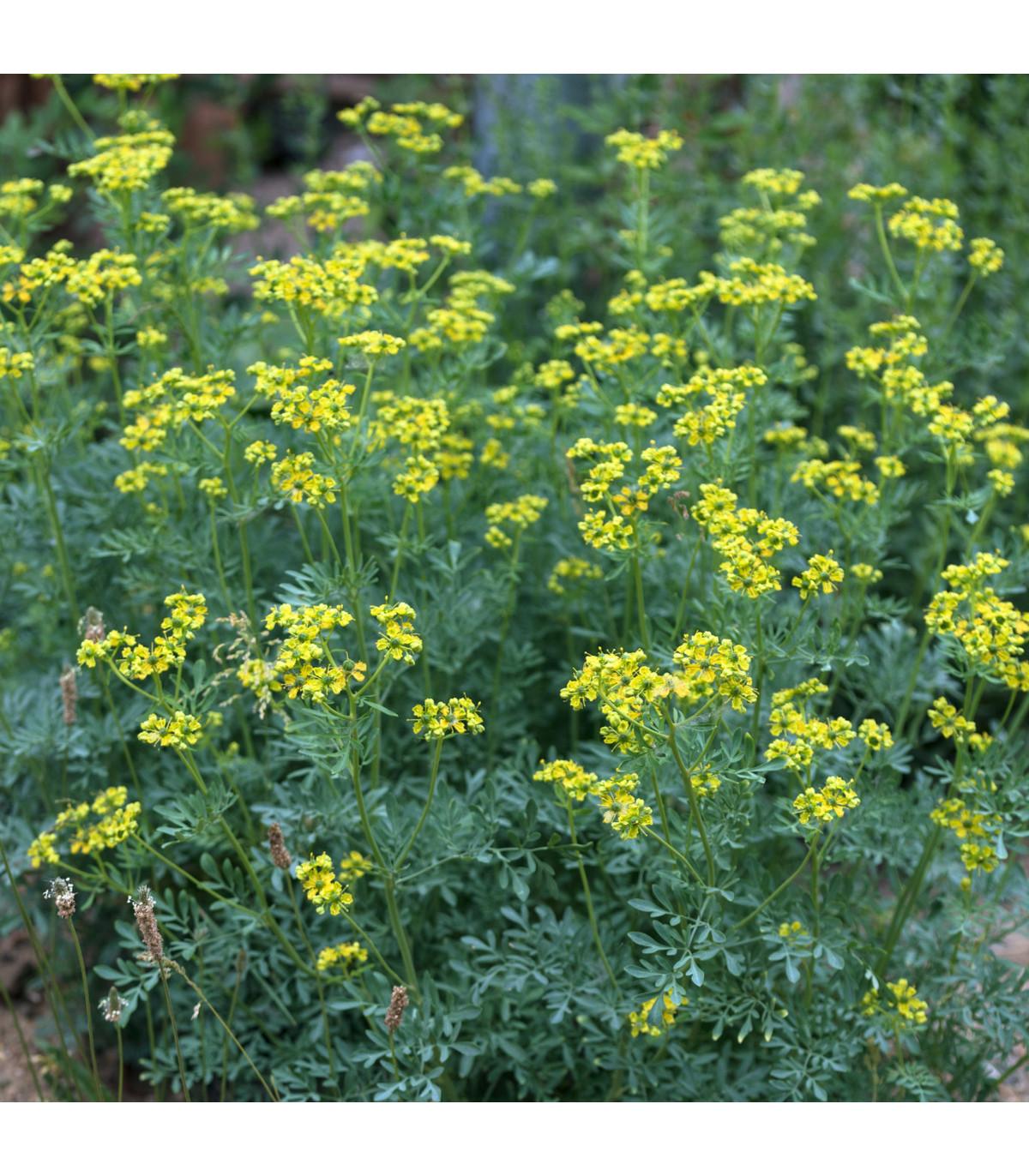 Routa vonná - semena Routy - rostlina Ruta graveolens pěstování - 10 ks