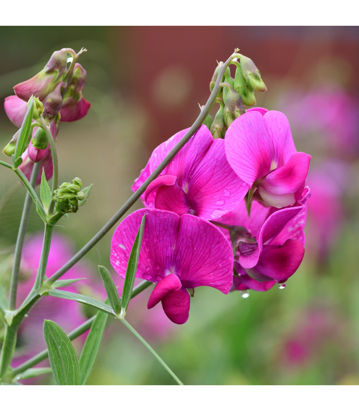 Hrachor vonný růžový - semena Hrachoru - Lathyrus odoratus - 20 ks