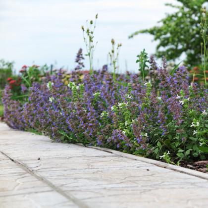 Kocúrnik záhradný modrý - semená kocúrnika - Nepeta faassenil - 15 ks