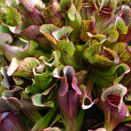 Špirlice nachová extra velká - semena Špirlice nachové - Sarracenia purpurea - 12 ks