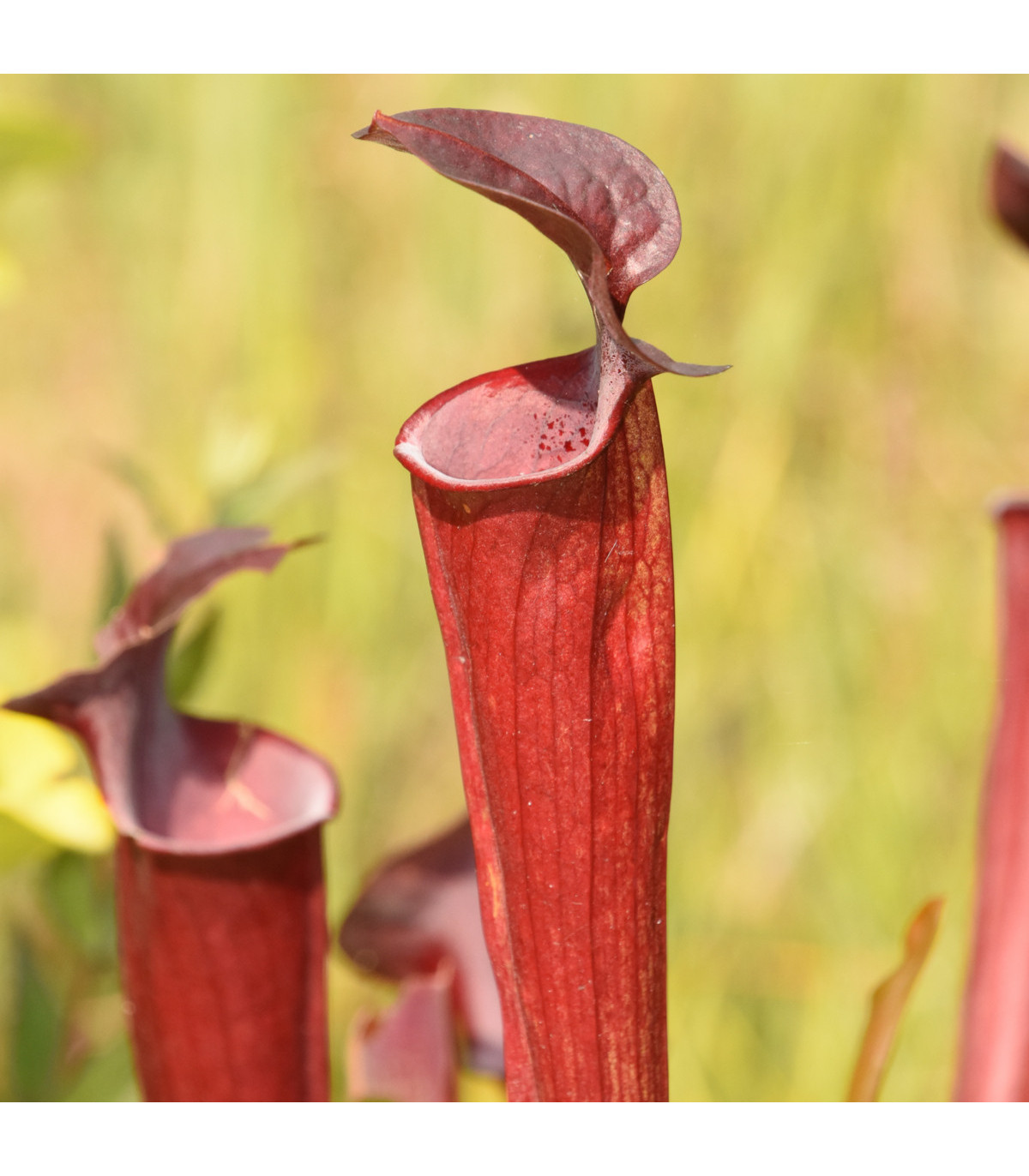 Špirlice červená - semena Špirlice červené - masožravka Sarracenia rubra - 12 ks
