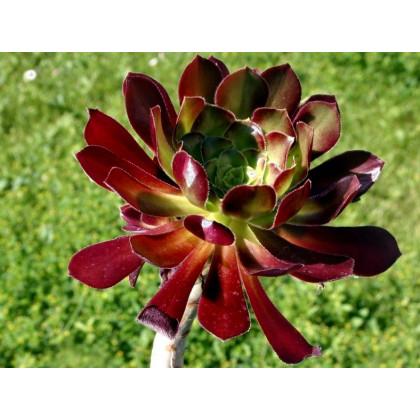Růžicovka - semena - 5 ks - Aeonium arboreum