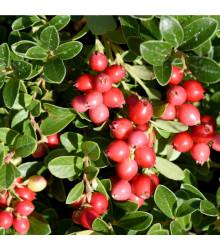 Americké brusinky - rostlina Klikva velkoplodá - semena Brusinek - 10 ks
