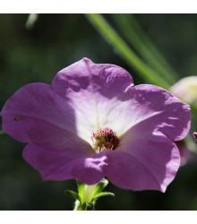 Petúnie velkokvětá nízká - semena Petunie - Petunia hybrida nana - 20 ks