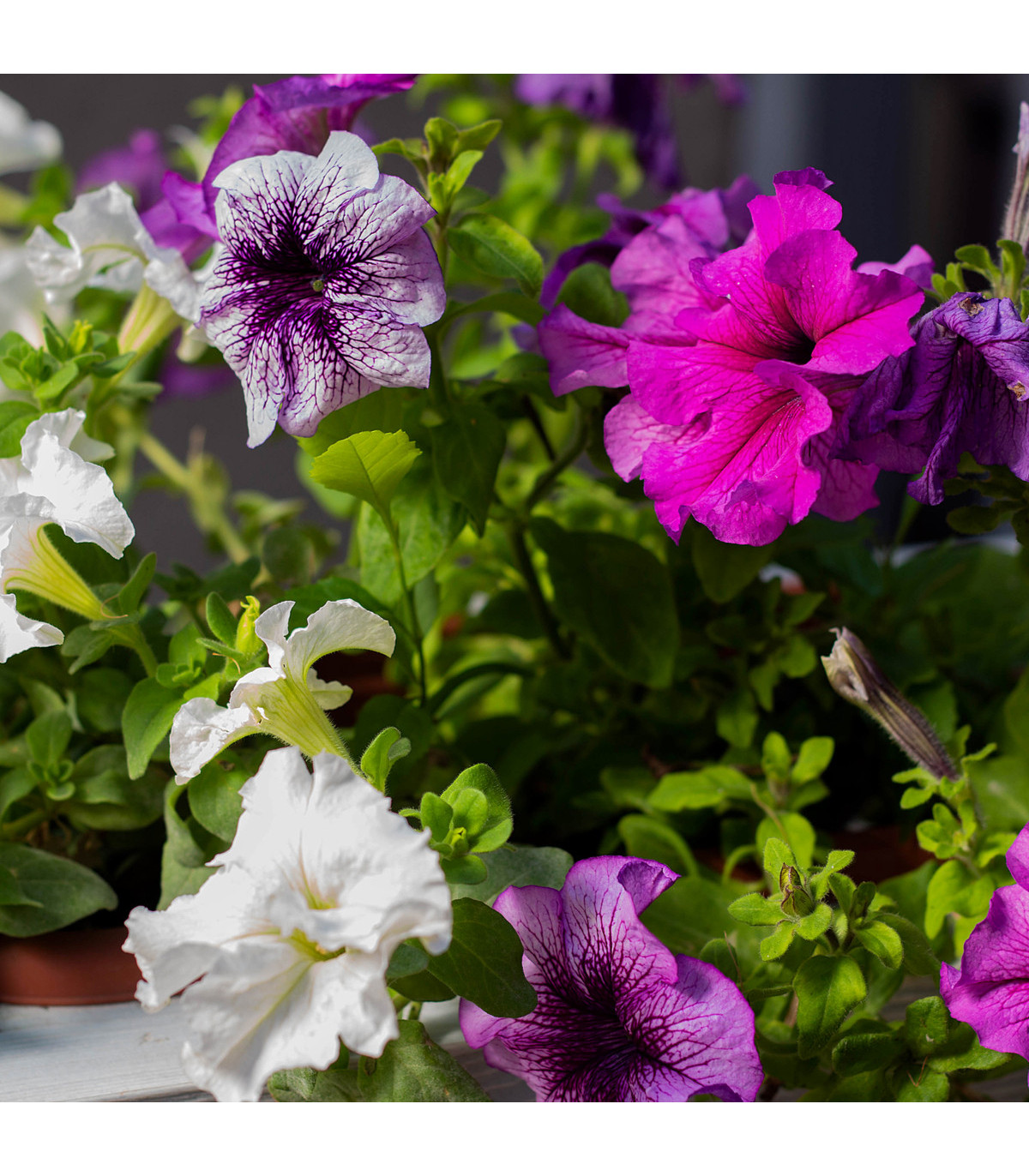 Petúnie velkokvětá převislá - semena Petúnie - Petunia hybrida pendula - 20 ks