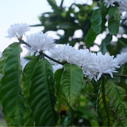 Kávovník arabský zakrslý - Coffea arabica nana - prodej semen kávovníku - 5 ks