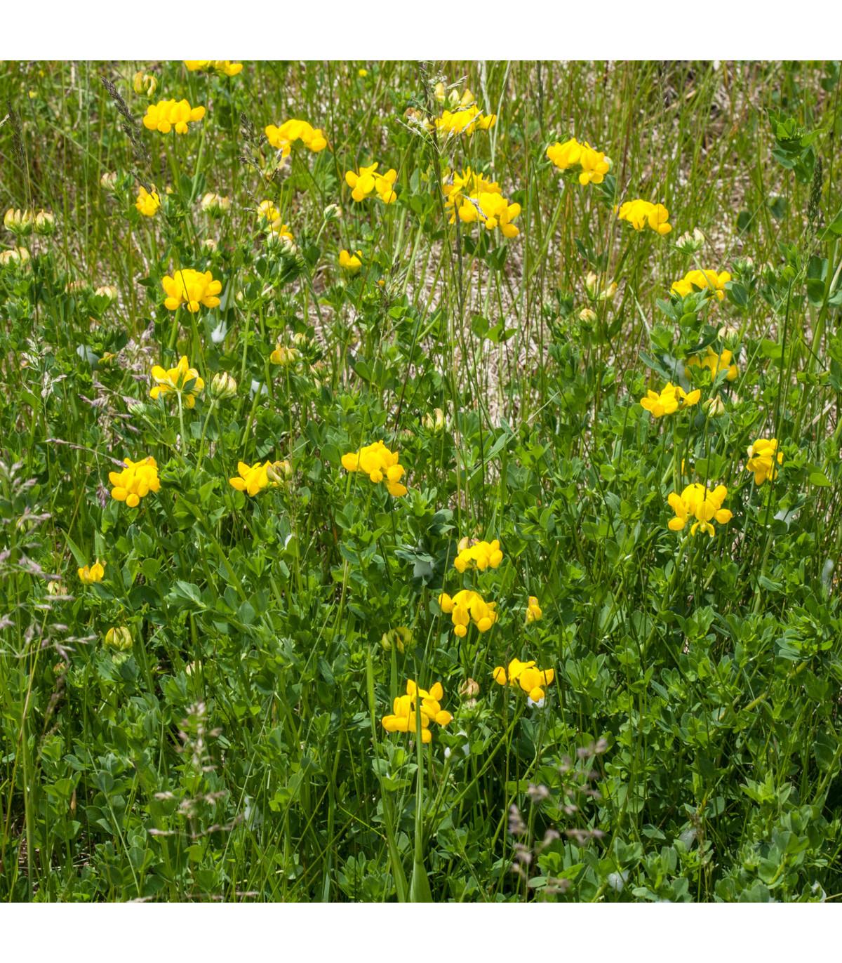 Štírovník růžkatý - semena Štírovníku - Lotus corniculatus - 2 gr