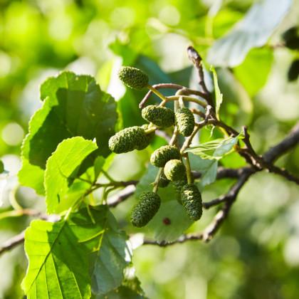 Olše šedá - Alnus incana - semena Olše - Alnus incana - 8 ks