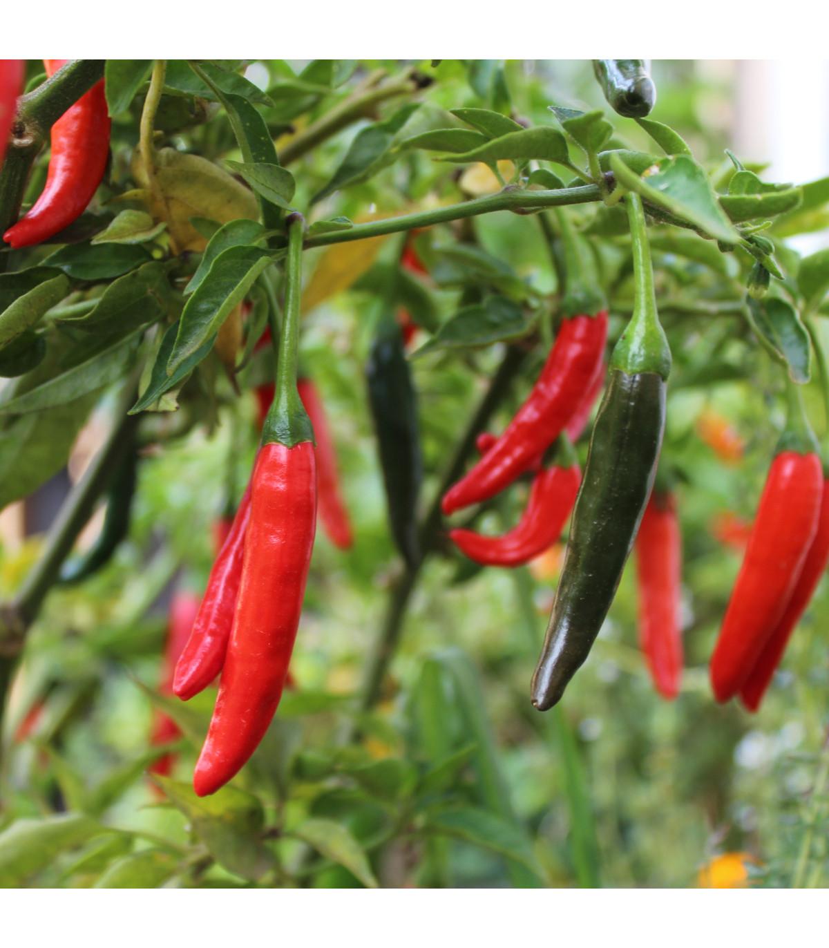Chilli - Kajenský pepř - semena - 8 ks - Cayenne peper