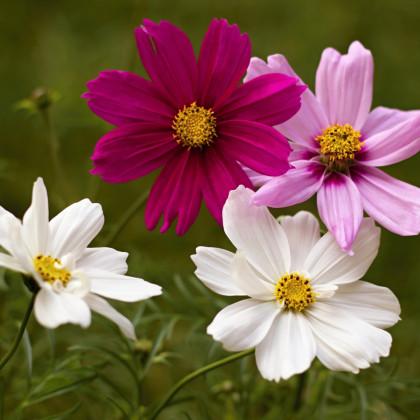 Krásenka zpeřená Sonata - semena Krásenky - Cosmos bipinnatus - 1 gr