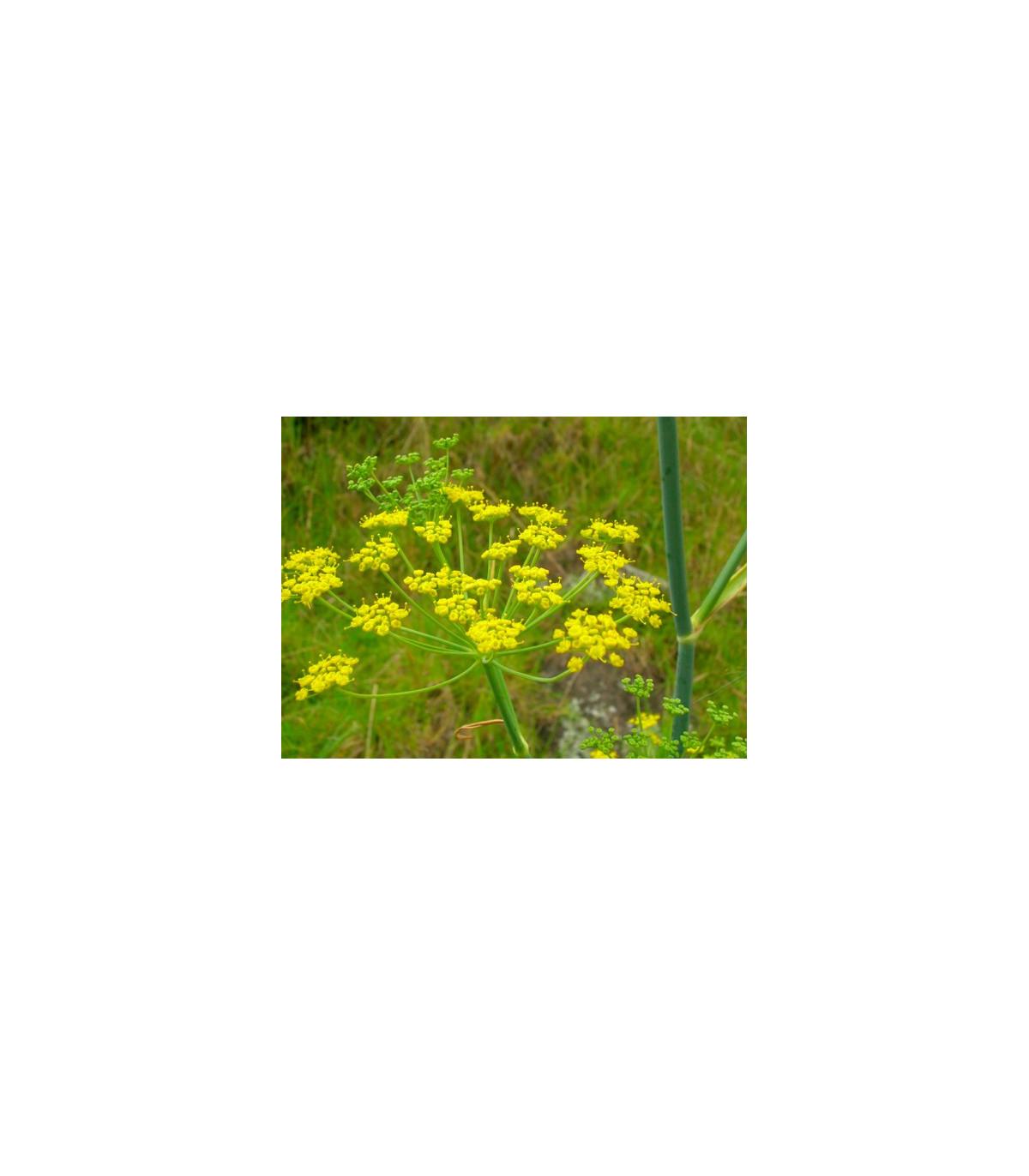 Fenykl sladký do salátů - semínka Fenyklu - Foeniculum vulgare Mill. - 30 ks
