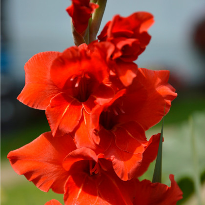 Mečik červený - prodej cibulek gladiol - Hunting song - 3 ks