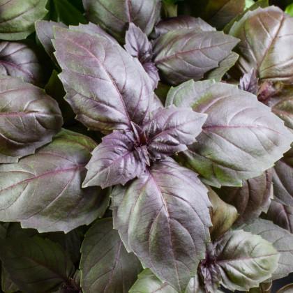 Bazalka posvätná červená Holy red - semienka Bazalky - Ocimum tenuiflorum - Holy red basil - 30 ks