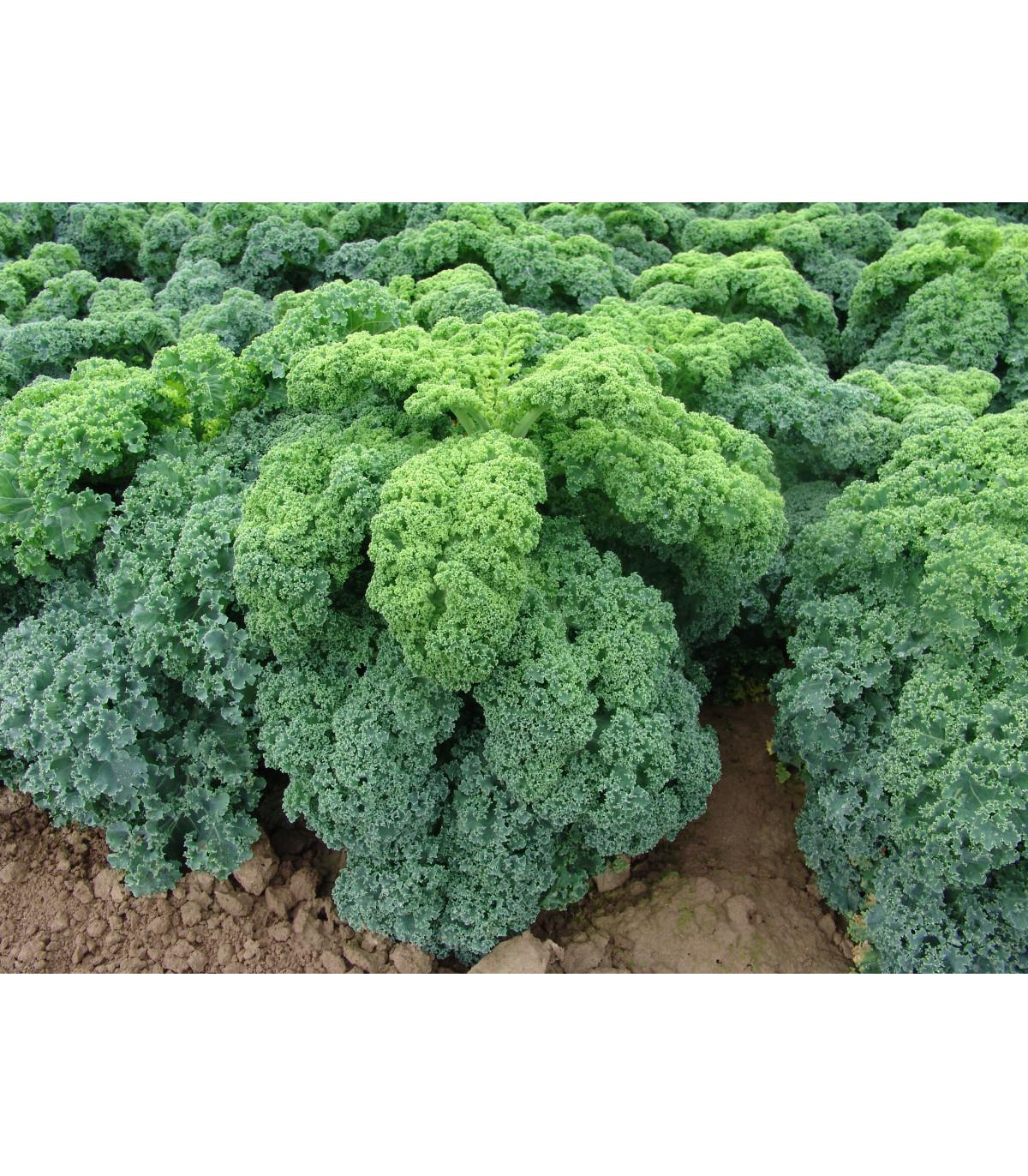 Kadeřávek zelený Kadet - semena Kadeřávku - 200 ks