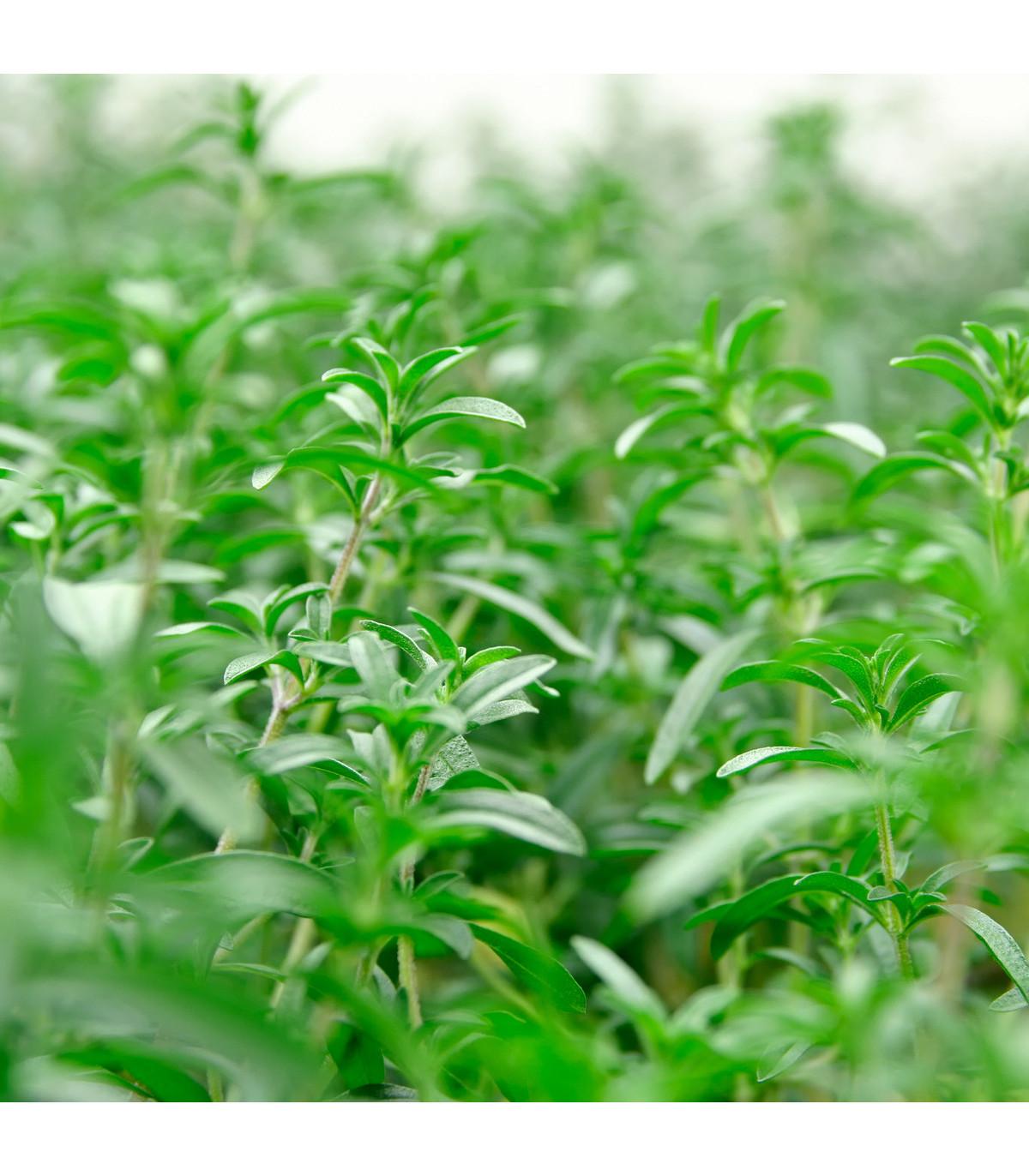 BIO osivá Saturejka záhradná - bylinka Satureja hortensis - bio semienka Saturejky - 1 g