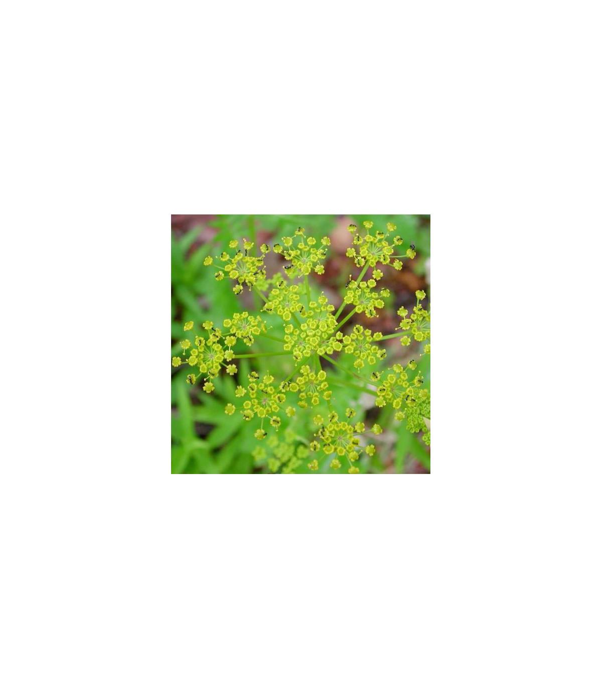Pastiňák setý - semena Pastiňáku - Pastinaca sativa - 1 gr