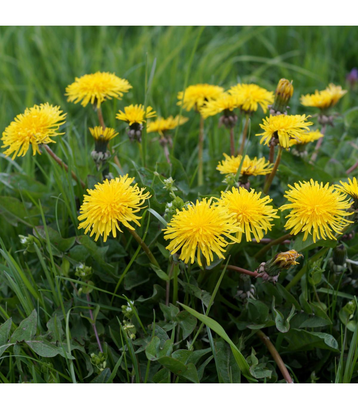 Pampeliška - Smetánka lékařská - semena Smetánky - Taraxacum ruderalia - 0,3 gr