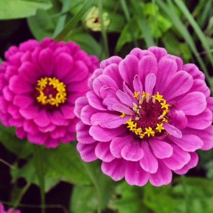 Ostálka jiřinkokvětá fialová - semena Ostálky - Zinnia elegans - 1 gr
