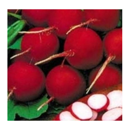 Ředkvička červená raná - semena Ředkvičky - 0,5 gr