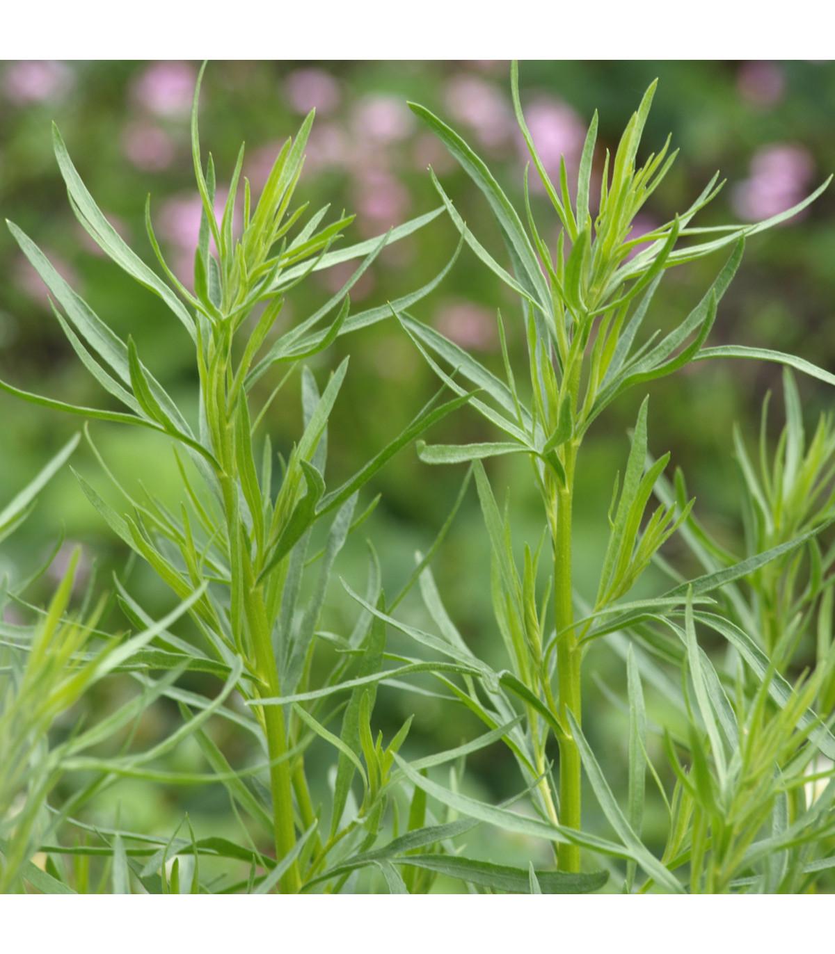 BIO Palina dračia - osivo Paliny - semienka Artemisia dracunculus - 0,1 g