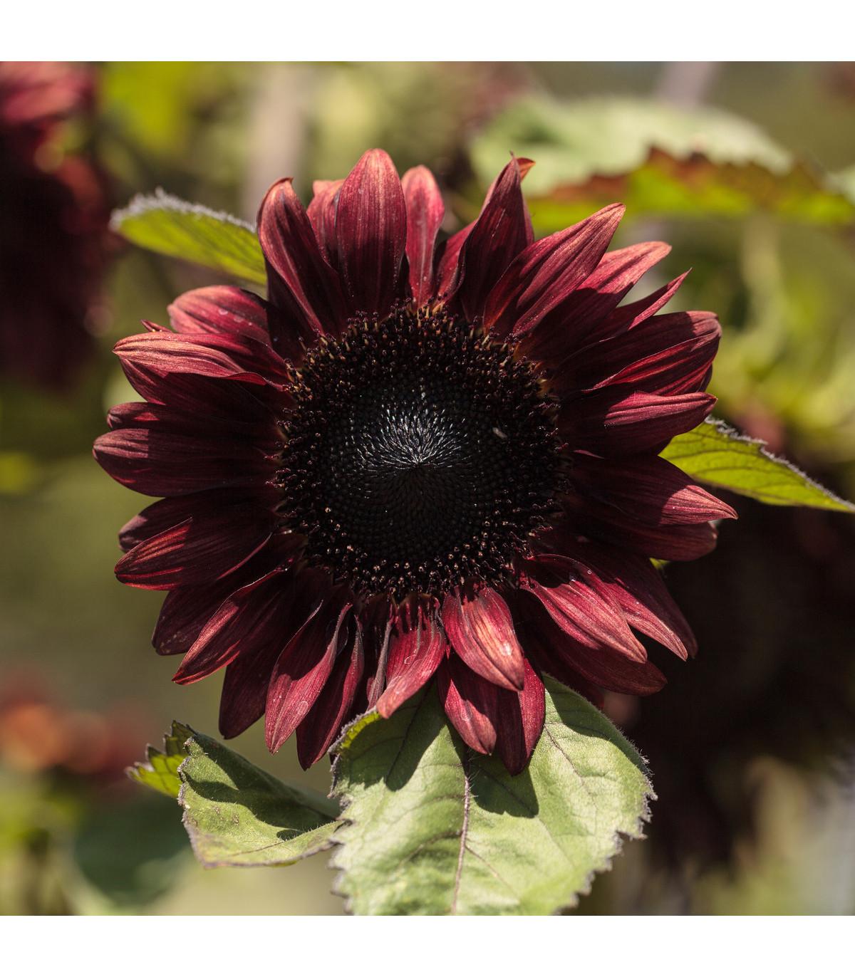 Slunečnice roční F1 červená Double dandy - semena Slunečnice - Helianthus annuus - 6 ks