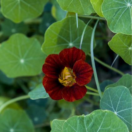 Kapucínka červenočierna Black Velvet - Alaska - semená kapucínky - Tropaeolum nanum - 15 ks