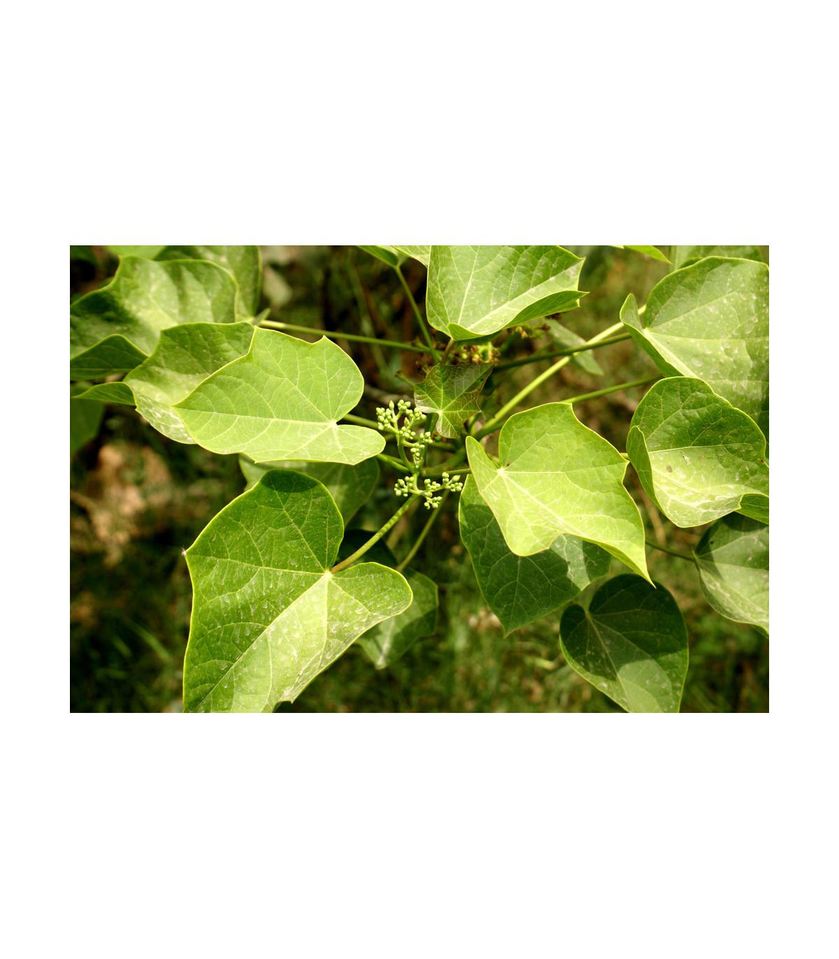 Dávivec černý - semena Dávivce - Jatropha curcas - 5 ks