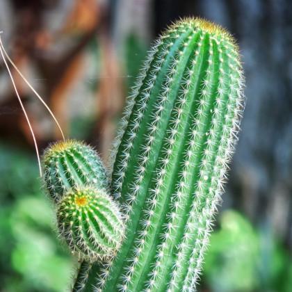 Saguaro - Kaktus svícnovitý - semena Saguara - rostlina Carnegiea gigantea - 5 ks