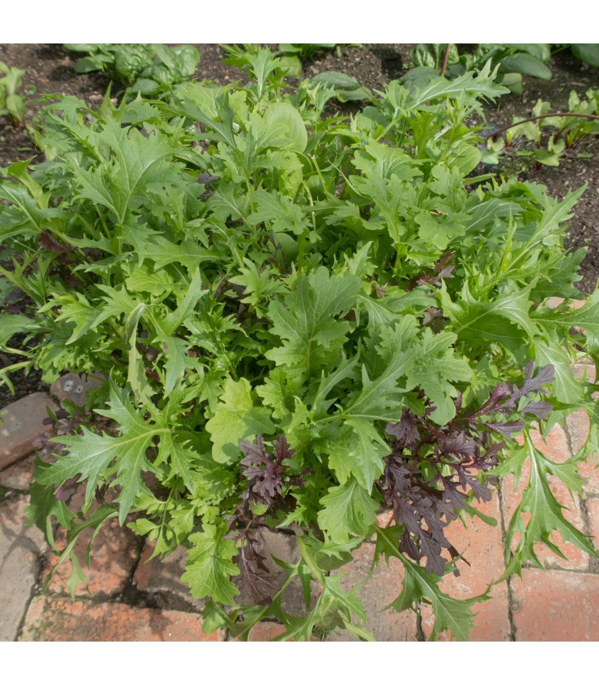Mix orientálních salátů - semena Salátu - 0,1 gr