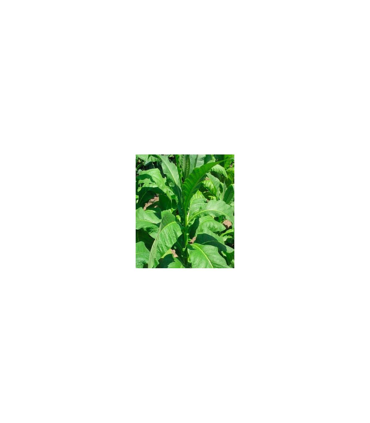 Tabák Orinoco - semena Tabáku - Nicotiana tabacum - 25 ks
