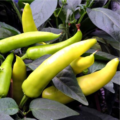 Paprika Sladký banán - semena Papriky - Capsicum annuum -  9 ks