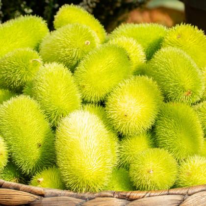 Okurka Ježek - semena krásné Okurky - Cucumis dipsaceus - 6 ks