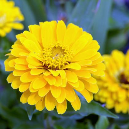 Ostálka jiřinkokvětá žlutá - semena Ostálky - Zinnia elegans - 1 gr