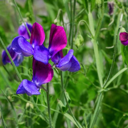 Hrachor pnoucí královský modrý - semena Hrachoru - Lathyrus odoratus - 20 ks
