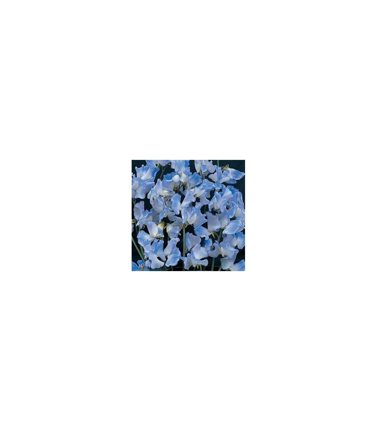 Hrachor pnoucí modrý - semena Hrachoru - Lathyrus odoratus - 20 ks