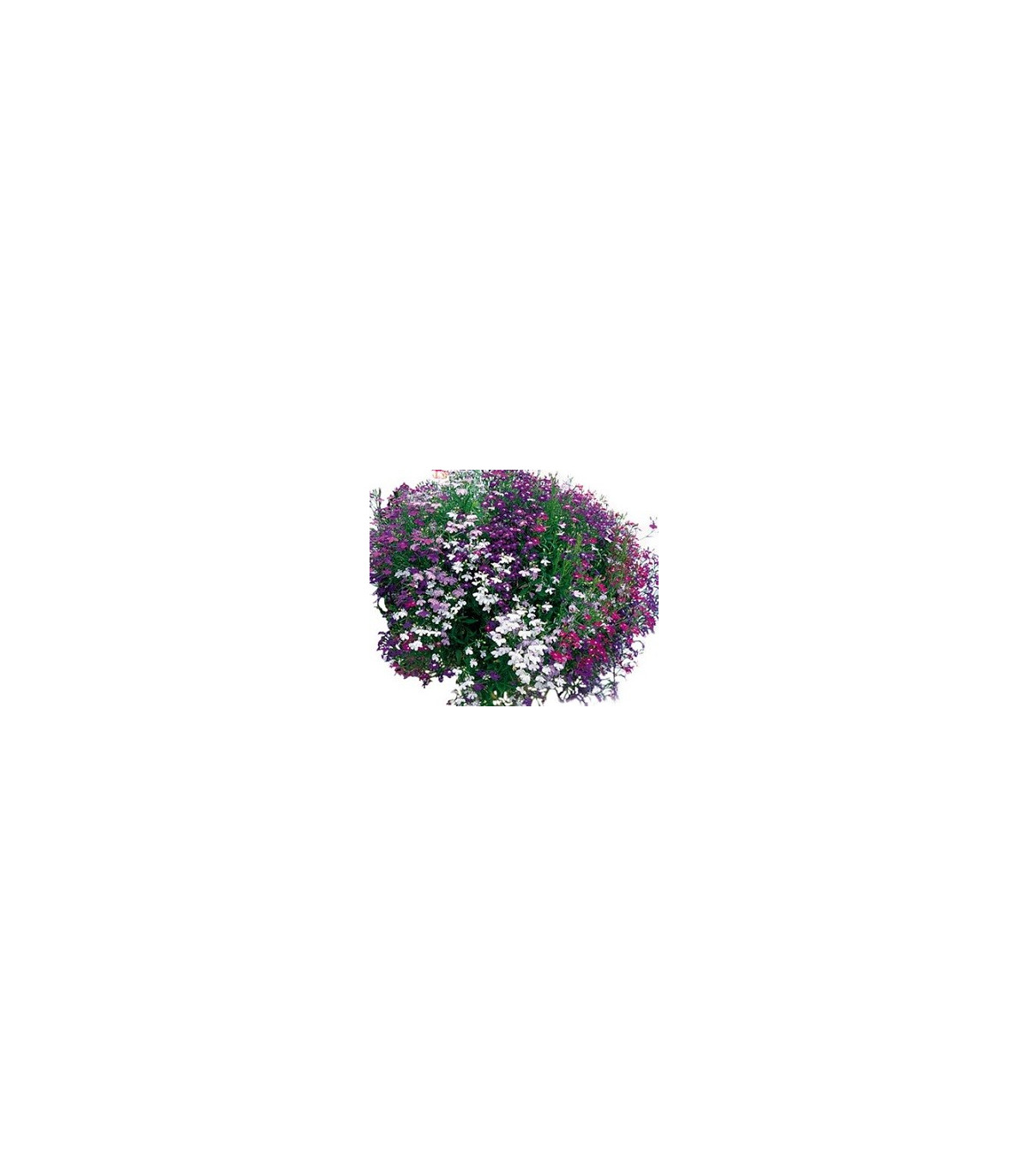 Lobelka převislá Color Cascade - semena Lobelky - Lobelia erinus pendula - 0,1 gr